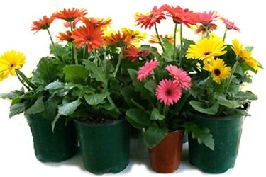 "6"" Gerbera Daisy (With Pot Covers) from Boulevard Florist Wholesale Market"