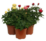 Miniature Rose Plant from Boulevard Florist Wholesale Market