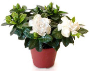 Gardenia from Boulevard Florist Wholesale Market