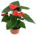 Anthurium Plant from Boulevard Florist Wholesale Market