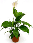 Spathiphyllum from Boulevard Florist Wholesale Market