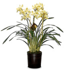 Cymbidium Orchid Plants from Boulevard Florist Wholesale Market