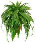 Boston Fern from Boulevard Florist Wholesale Market