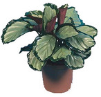 Calathea from Boulevard Florist Wholesale Market