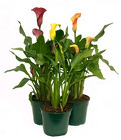 Calla Lily from Boulevard Florist Wholesale Market