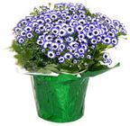 Cineraria from Boulevard Florist Wholesale Market