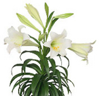 Easter Lily 3-4 Bloom from Boulevard Florist Wholesale Market