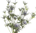 Eryngium from Boulevard Florist Wholesale Market