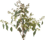 Eucalyptus - Seeded from Boulevard Florist Wholesale Market