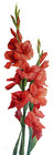 Gladiolus from Boulevard Florist Wholesale Market