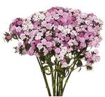 Gypsy Dianthus from Boulevard Florist Wholesale Market