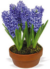 Hyacinth from Boulevard Florist Wholesale Market