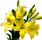 Lily Asiatic from Boulevard Florist Wholesale Market