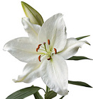 Lily Crystal Blanca from Boulevard Florist Wholesale Market