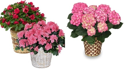 Upgraded Blooming Plant in Basket from Boulevard Florist Wholesale Market
