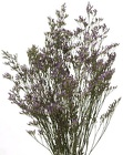Misty Blue Limonium  from Boulevard Florist Wholesale Market