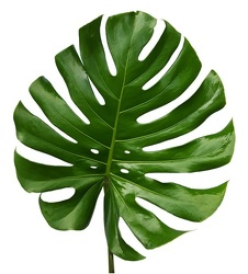 Monstera - Medium - 11