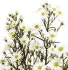 Monte Casino Aster from Boulevard Florist Wholesale Market
