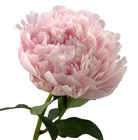 Peony from Boulevard Florist Wholesale Market
