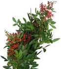 Pepper Berry from Boulevard Florist Wholesale Market