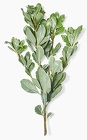 Pittosporum from Boulevard Florist Wholesale Market