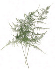 Plumosa Fern - BUNCH from Boulevard Florist Wholesale Market
