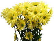 Pom Pon Chrysanthemum from Boulevard Florist Wholesale Market