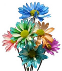 Pom Pon Chrysanthemum Tinted from Boulevard Florist Wholesale Market