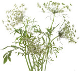 Queen Ann Lace  from Boulevard Florist Wholesale Market