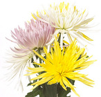 Spider Mum  from Boulevard Florist Wholesale Market