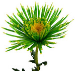 Spider Mum Tinted  from Boulevard Florist Wholesale Market
