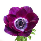 Anenome from Boulevard Florist Wholesale Market