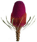 Banksia - Tinted from Boulevard Florist Wholesale Market