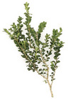 Boxwood from Boulevard Florist Wholesale Market