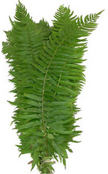 Brake Fern from Boulevard Florist Wholesale Market
