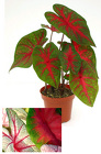 Caladium from Boulevard Florist Wholesale Market