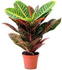 Croton from Boulevard Florist Wholesale Market