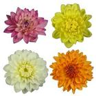 Dahlia from Boulevard Florist Wholesale Market