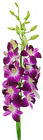 Dendrobium Orchid - Long from Boulevard Florist Wholesale Market