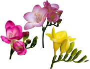Freesia from Boulevard Florist Wholesale Market