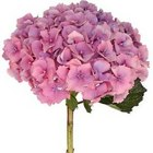 Hydrangea - Purple, Pink, Antique Green from Boulevard Florist Wholesale Market