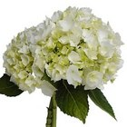 Hydrangea - White, Lt Blue,  from Boulevard Florist Wholesale Market