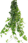 Ivy - Green from Boulevard Florist Wholesale Market