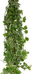Ivy - Variegated from Boulevard Florist Wholesale Market