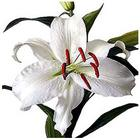 Lily Stargazer White from Boulevard Florist Wholesale Market