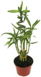 Lucky Bamboo Plant from Boulevard Florist Wholesale Market