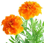Marigold from Boulevard Florist Wholesale Market