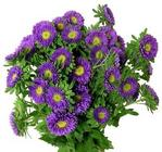 Matsumoto Aster from Boulevard Florist Wholesale Market
