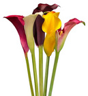 Calla Lily - Mini from Boulevard Florist Wholesale Market