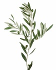 Olive Branch from Boulevard Florist Wholesale Market